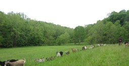 Goats in Line in Meadow 2-001