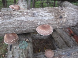 shitakes-stacked-logs